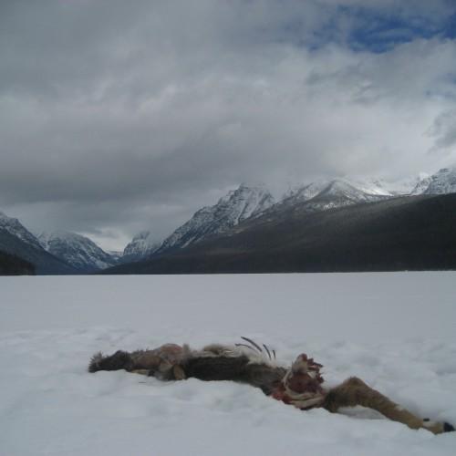 deer on Bowman Lake