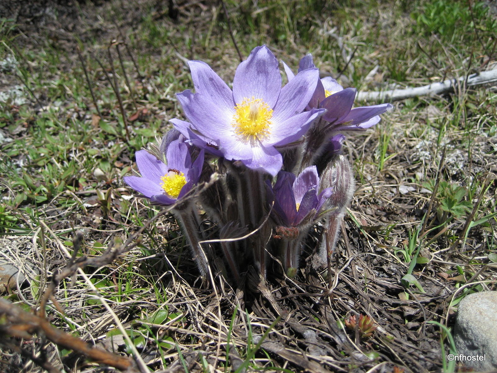 Pasqueflower or Prairie Crocus